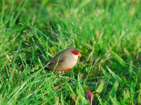 カウアイ島~オアフ島探鳥: 野鳥...